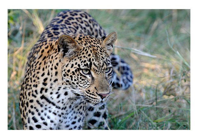>> Leopard