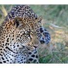 >> Leopard <<