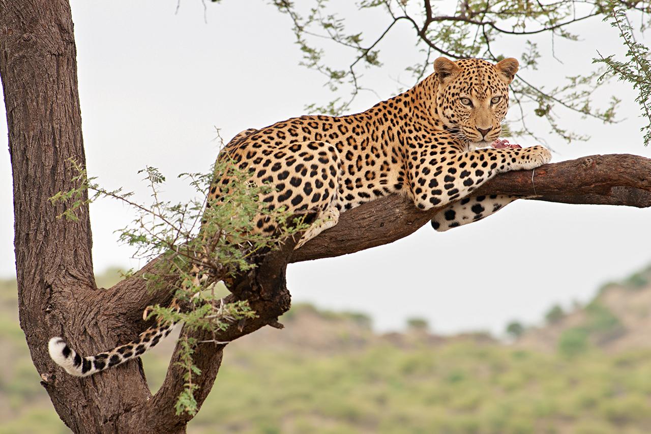 Leopard-auf-Baum
