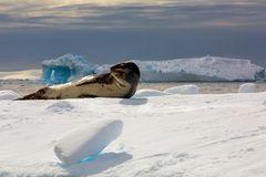 Leopard auf dem Eis