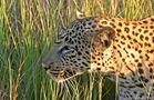 Leopard auf der Lauer von Reto Büchli