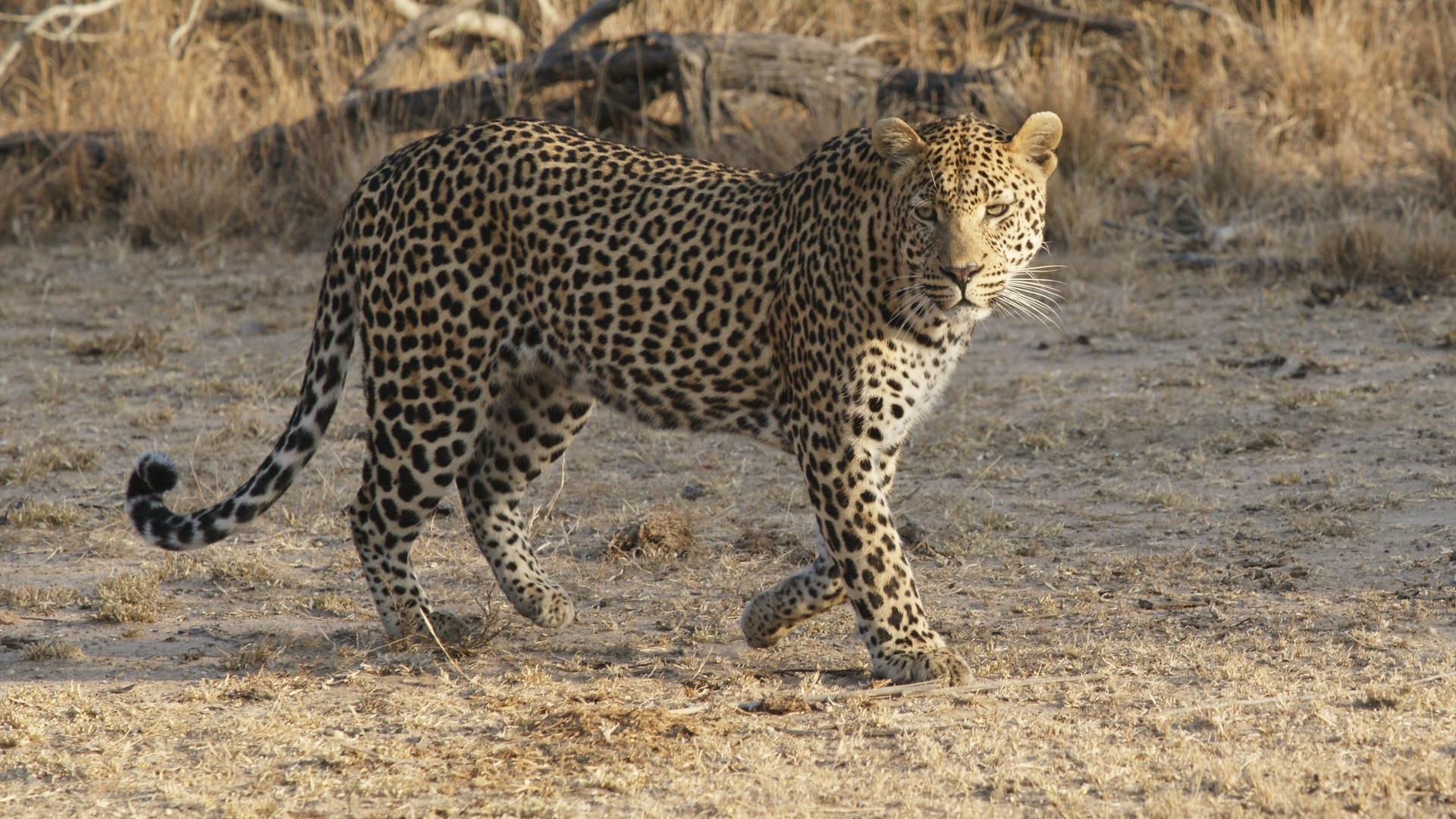 Leopard auf Pirsch