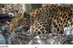 Leopard beim Entspannen