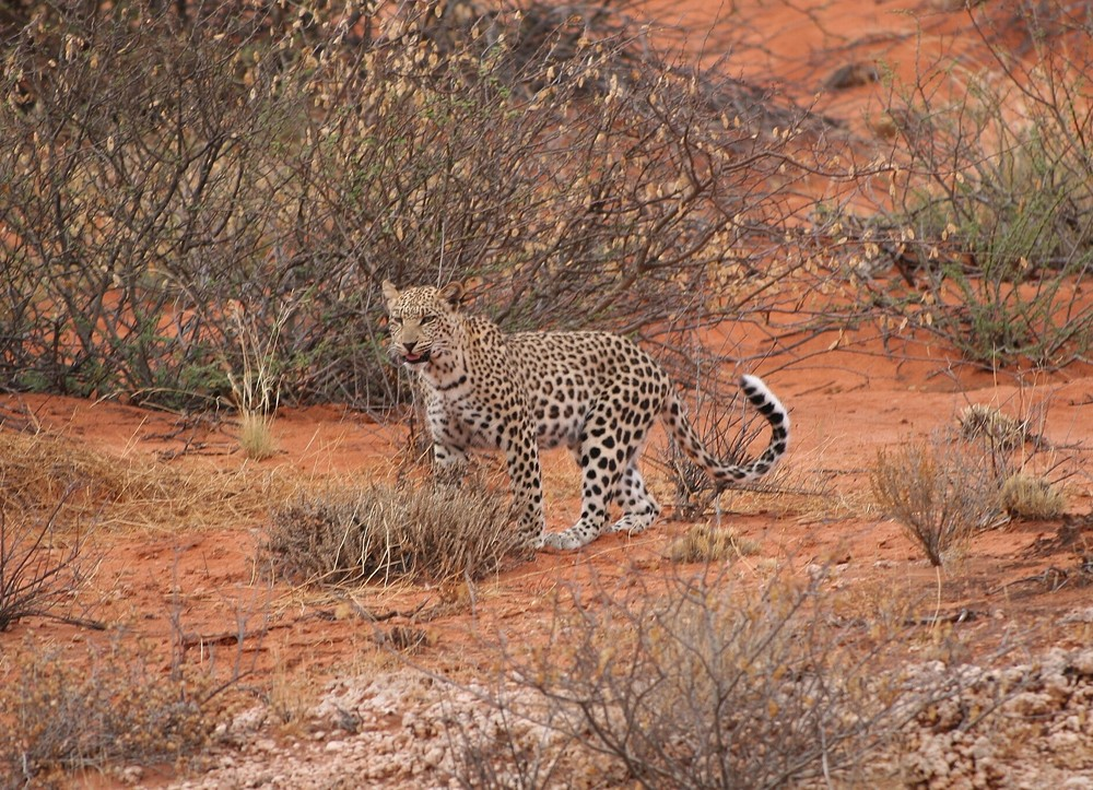 * Leopard *
