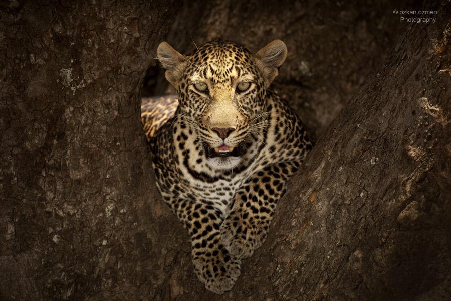 Leopard close up portrait