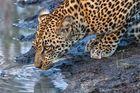 Leopard Drinking Djuma Reserve