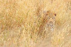 Leopard-Düsternbrook