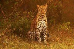 Leopard ganz nah