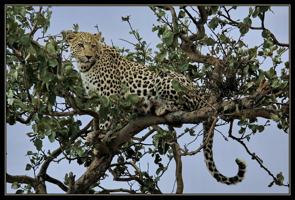 Leopard ganz oben....