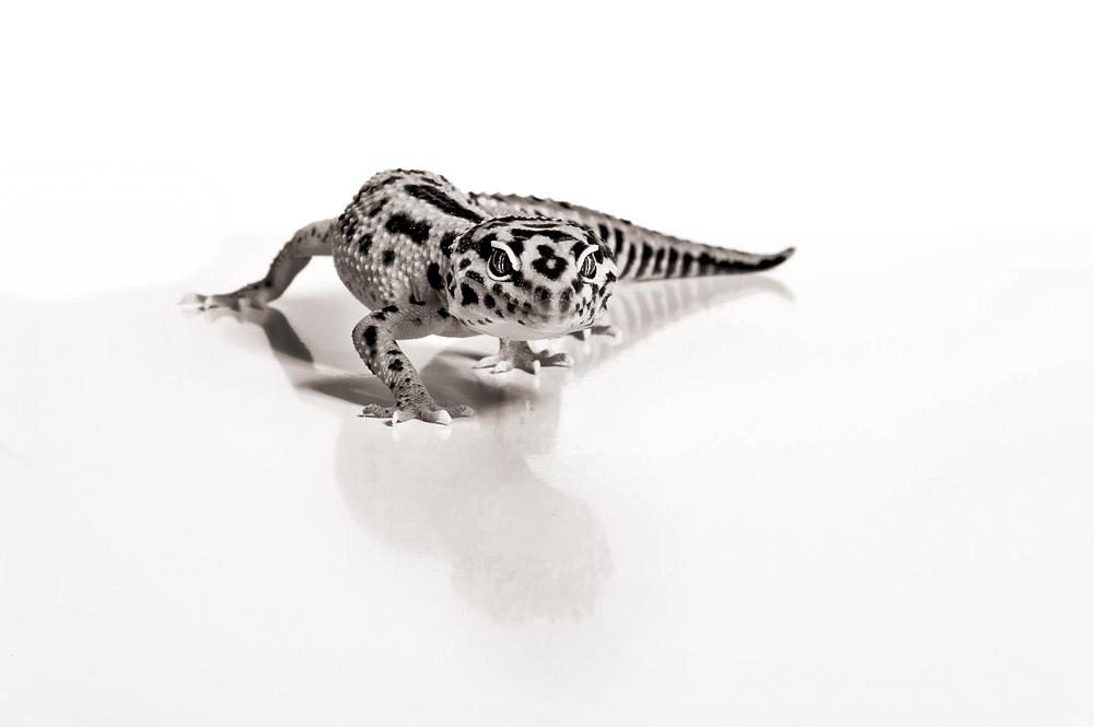 Leopard Gecko - Eublepharidae