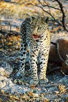 Leopard hatte Hunger