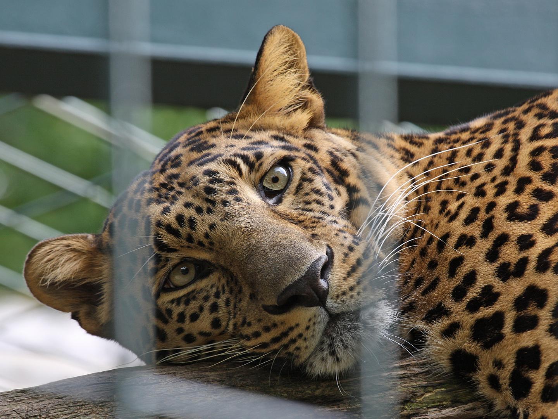 Leopard hinter Gittern