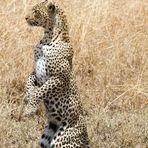 Leopard - Hunting 1