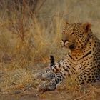 Leopard im Abendlicht