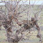 LEOPARD... im Baum  ... ENTDECKT Ü1111K