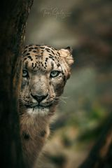 Leopard im Blickkontakt