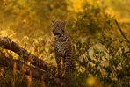 Leopard im Morgentau