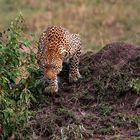 Leopard im Schleichgang