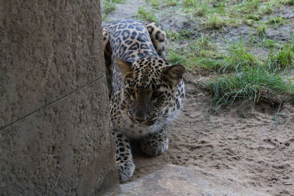 Leopard im Zoo Hannover #1