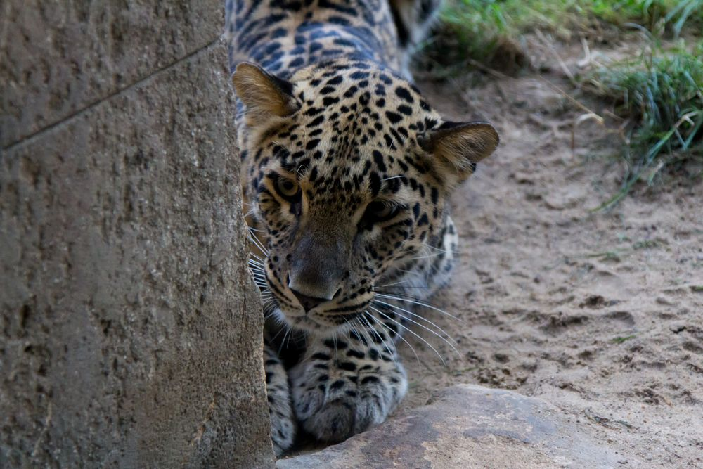 Leopard im Zoo Hannover #2