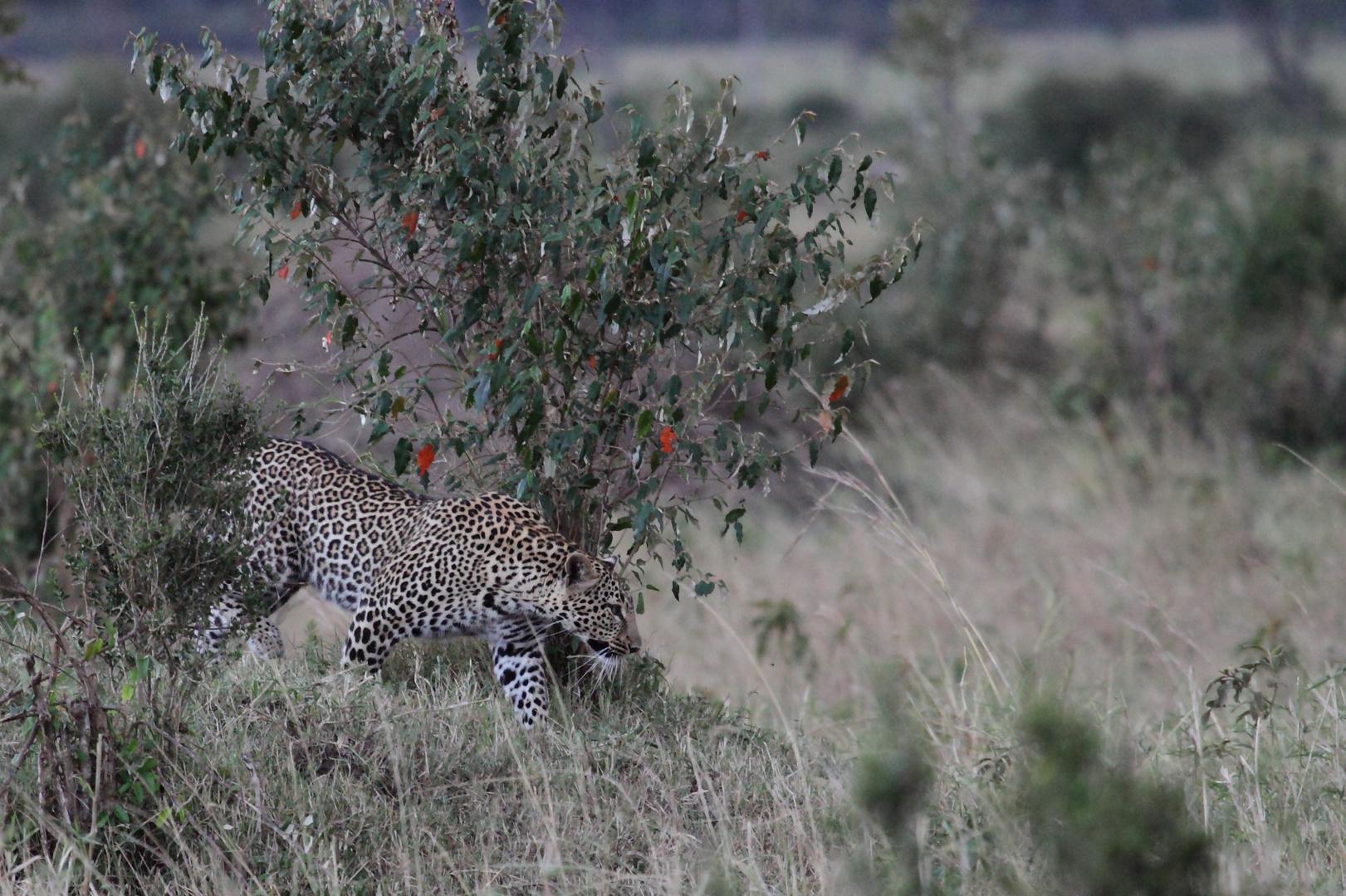 Leopard in der Abenddämmerung
