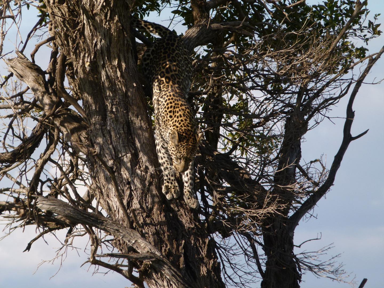 Leopard in der Masai Mara.