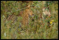 Leopard in Sicht