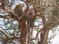 Leopard in Tsavo Ost von Michaela Völker