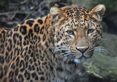 "Leopard JULIUS - Tierpark München ""Hellabrunn"""