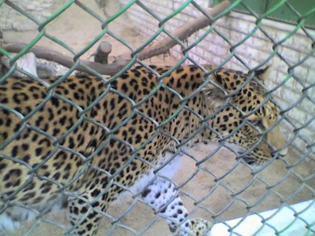 Leopard, Kuwait Zoo, Staat Kuwait