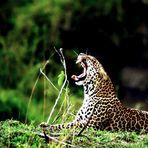 Léopard - Masai Mara / Kenya - Après la sieste !