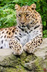 Leopard Mia