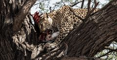Leopard mit Beute