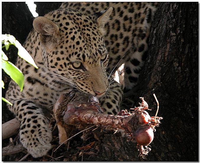 Leopard mit Beute (1)