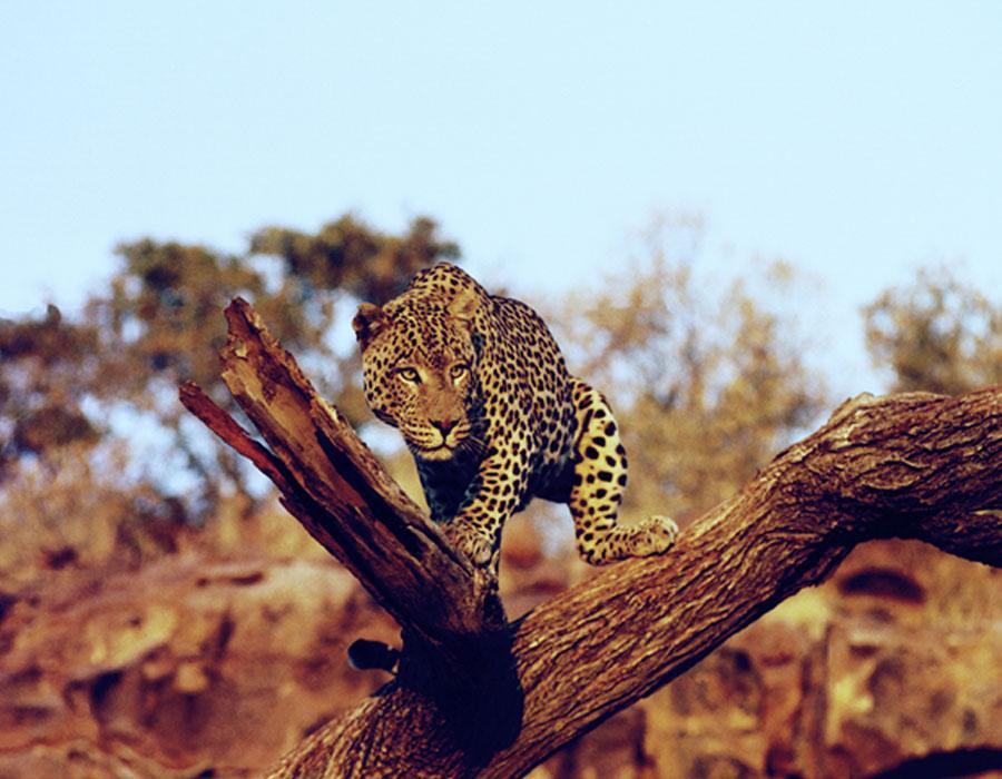 Leopard mit Blickkontakt