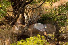 Leopard mit erlegtem Wasserbock