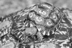Leopard Moutain Tortoise Baby 5084 bw