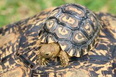 Leopard Moutain Tortoise Baby