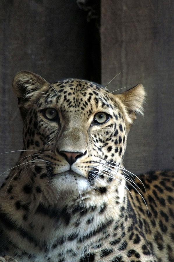 Leopard ( Portrait )