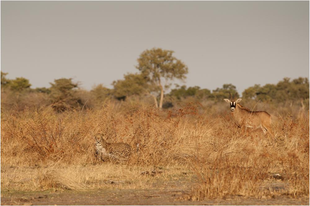 Leopard & Roan