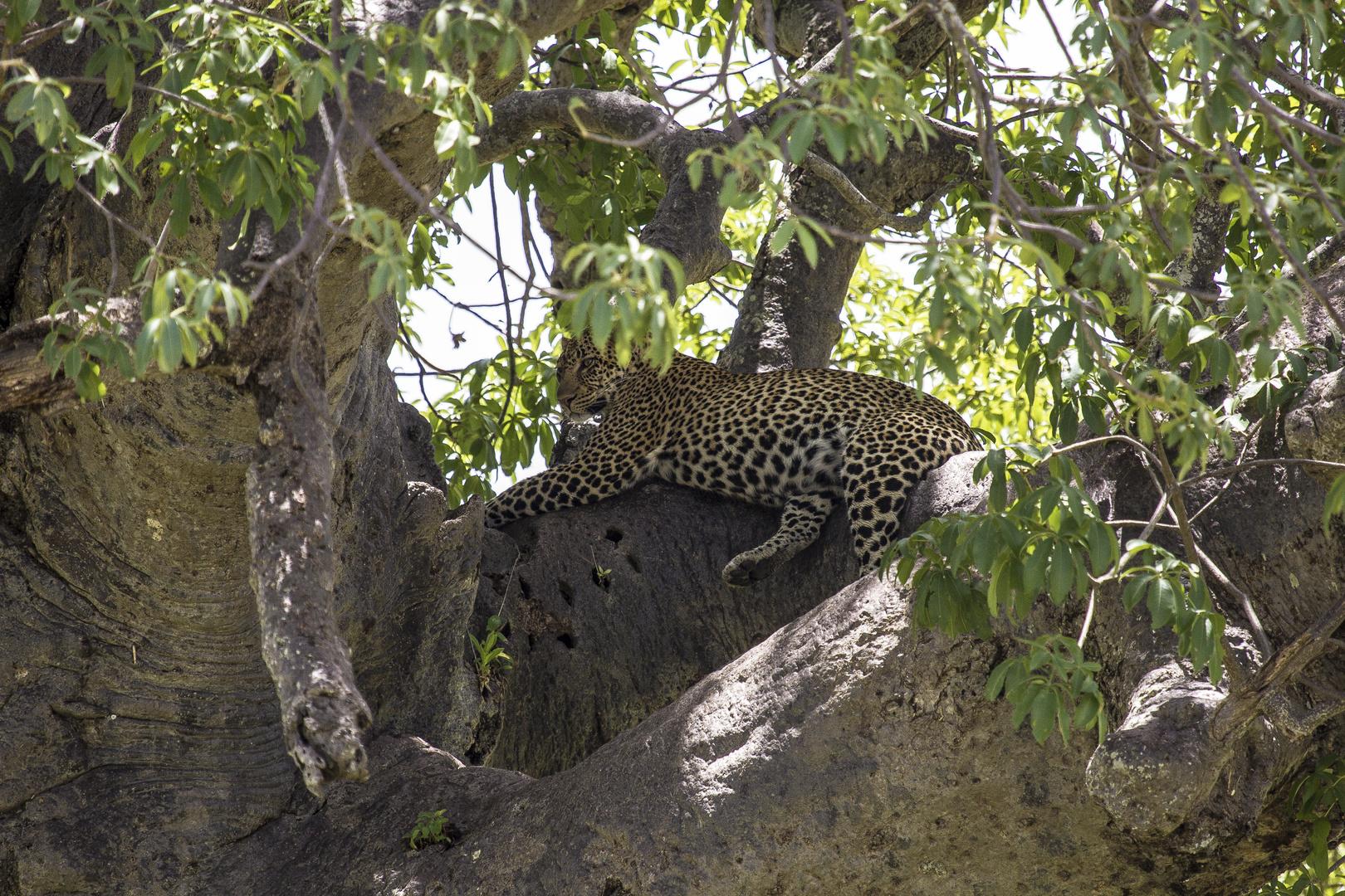 Leopard ruhend
