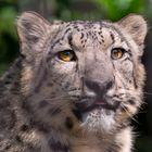 Leopard, Wilhelma
