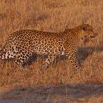 Leopard zum Greifen nahe