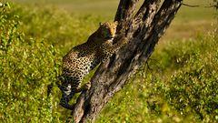 Leopard zum Mittagstisch
