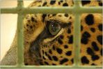 Leoparden (1)