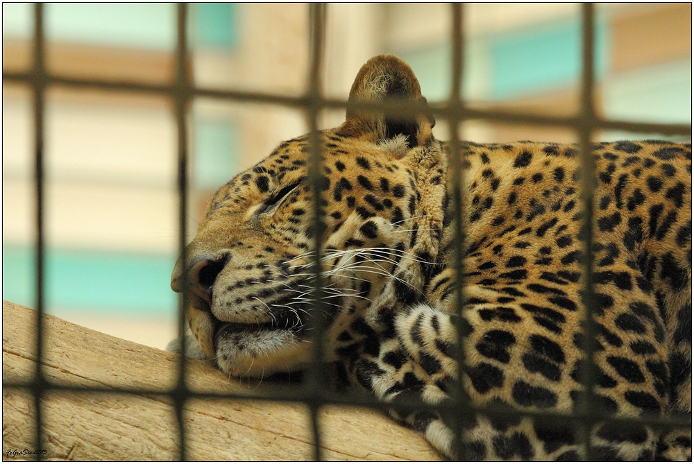 Leoparden (3)