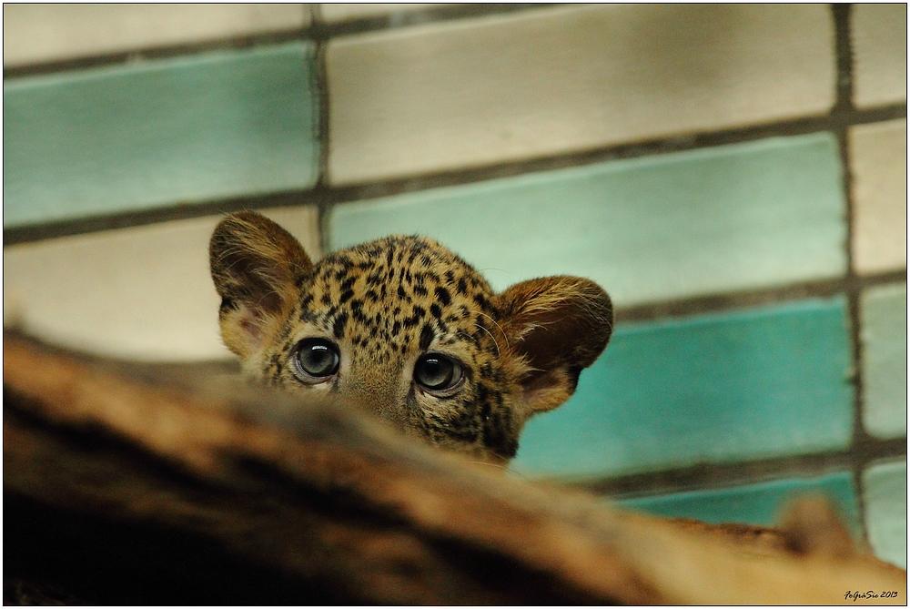 Leoparden (6)