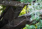 Leoparden im South Luangwa
