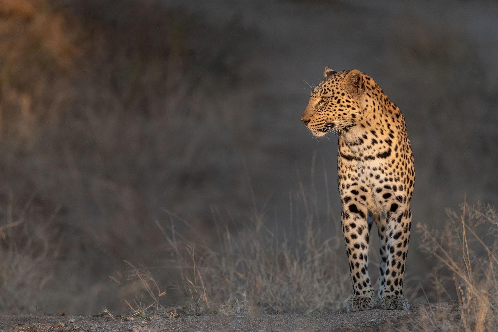 Leoparden in Südafrika (1)