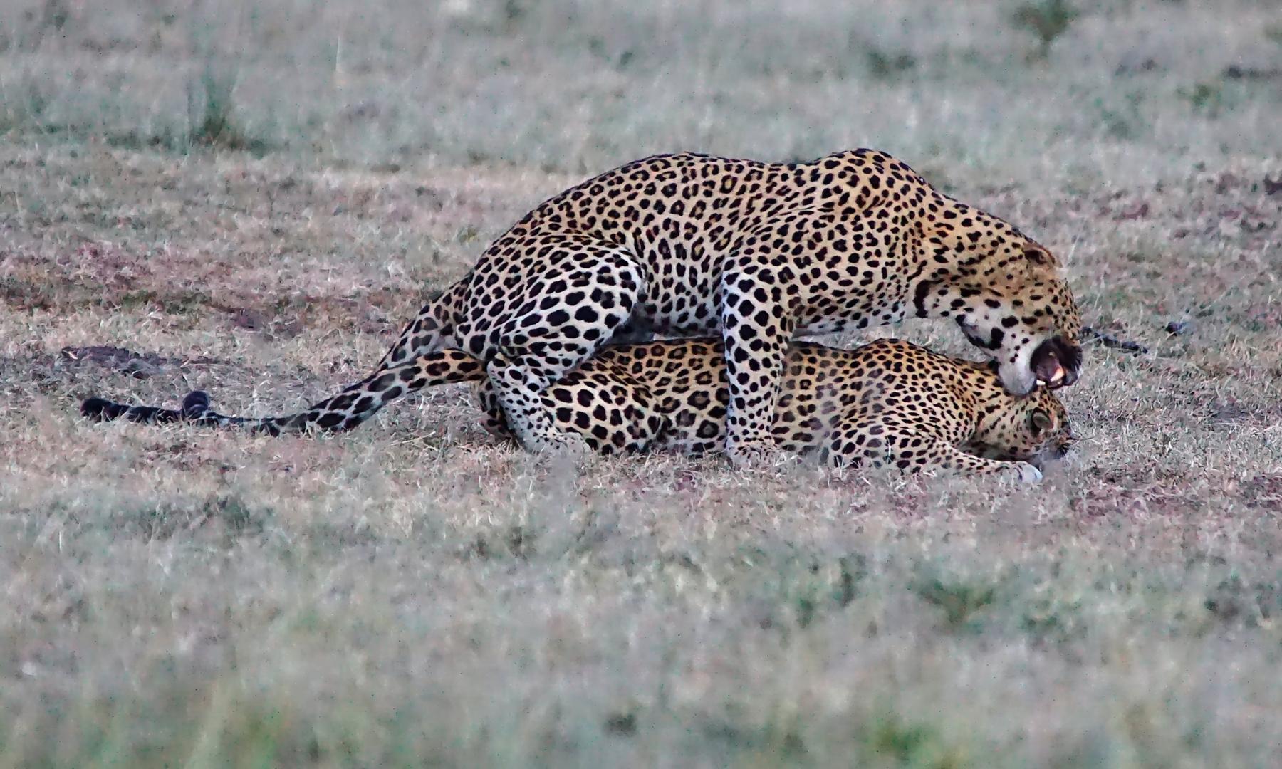 Leoparden - Paarung